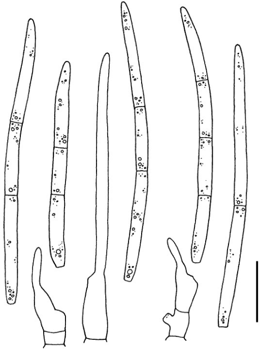 Septoria phlogis. Conidia and conidiogenous cells in planta (CBS H-21198). Scale bars = 10 μm.
