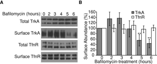 Bafilomycin treatment reduces TrkA surface levels. (A) Serum-starved PC12 cells were incubated with bafilomycin A1 (250 nM) for the times indicated, and cell-surface TrkA or TfnR was detected by surface biotinylation assay. (B) TrkA or TfnR cell-surface abundance was determined by densitometry, and relative intensities were calculated. N = 3; error bars represent SEM; **p < 0.01 (Student's t test) for difference from untreated cells (time 0).