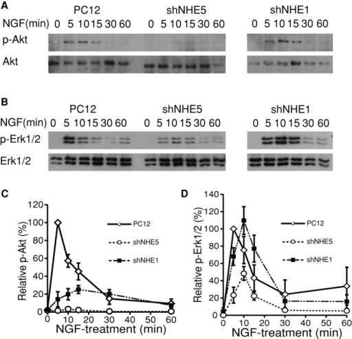 NHE5 knockdown affects NGF signaling. (A–D) Control PC12, shNHE5, and shNHE1 cells were serum starved overnight and then treated with 50 ng/ml NGF for the indicated times. The amounts of phosphorylated and total Akt and Erk1/2 were detected by Western blot (A and B, respectively). Representative Western blots are shown. The experiments were repeated three times, and the intensities of the bands were determined by densitometry. The relative levels of phospho-Akt (C) and phospho-Erk1/2 (D) are expressed as means ± SEM.