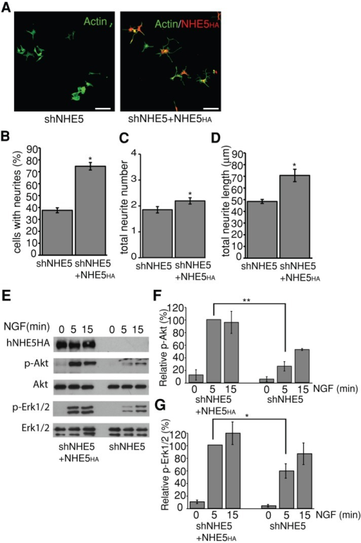 Stable expression of NHE536HA reverses phenotypes of NHE5-deficient PC12 cells. (A) NGF-induced neurite outgrowth phenotype of shNHE5 cells stably expressing control vector or shRNA-resistant, HA-tagged human NHE5 (NHE536HA). Anti-HA antibody (red) and fluorescently labeled phalloidin (green) were used to visualize F-actin and NHE5, respectively. Scale bar, 50 μm. The percentage of cells with at least one neurite extension (B), mean total neurite number (C), and length (D) in individual cells that had clearly differentiated (at least one neurite ≥15 μm in length). N ≥ 150 cells in each cell type per experiment; error bars represent SEM of n = 3 experiments; *p < 0.05 (paired Student's t test) for difference from control cells. (E, F) shNHE5 cells stably expressing control vector or shRNA-resistant, HA-tagged human NHE5 (NHE536HA) were serum starved overnight and then treated with 50 ng/ml NGF for the indicated times. The amounts of phosphorylated and total Akt and Erk1/2 were detected by Western blot. (E) Representative Western blots. The experiments were repeated three times, and the intensities of the bands were determined by densitometry. The relative levels of phospho-Akt (F) and phospho-Erk1/2 (G) are expressed as means ± SEM.