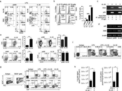 IL-35 preferentially induced CD5+CD19+B220lo Breg cells and a unique IL-35-producing Breg subpopulation (IL-35+Breg)(a) Purified CD19+ B cells were stimulated for 3 days in medium containing 50ng/ml pMIB or rIL-35 and numbers in quadrants indicate the percent of B220+ B cells expressing Ebi3, p35 and/or IL-10. (b) IL-10− or IL-10+ B cells enriched with a Breg Isolation Kit (see Methods section) were analyzed by intracellular cytokine staining assay. (c,d) Activated B-cells were stimulated with rIL-35 and subjected to chromatin immunoprecipitation (ChiP) assay (c) or RT-PCR (d). (e) Purified B cells were stimulated for 3 days in medium containing pMIB or IL-35 and expression of B220, CD19, CD5, Foxp3 or Tim-1 and/or IL-10 was analyzed by intracellular cytokine staining assay or cell surface FACS analysis. (f, g) C57BL/6 mice were injected with LPS (15 μg/mouse) and/or rIL-35 (1μg/mouse) and after 4 days splenic cells were analyzed by FACS. (h) Absolute numbers of B220loCD19+CD5+ or B220loCD19+CD5+IL-10+ cells in the spleen. Results are representative of at least 3 independent experiments (****P<0.05; **P<0.01; ***P < 0.001).
