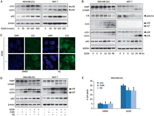 G226 induces caspase-dependent apoptosis accompanied by induction of autophagy. MDA-MB-231 and MCF-7 cells were treated with increasing concentrations of G226 for 24 h (A) or with 200 nmol/L G226 for 0, 3, 6, 12, 24, or 48 h (B), and the cell lysates were collected and examined by immunoblotting with the indicated antibodies. (C) In the presence or absence of 25 μmol/L CQ, MCF-7 cells were treated with 100 nmol/L G226 for 24 h, and fluorescence deconvolution microscopy was performed using anti-LC3 (green) antibodies. DAPI (blue) was used to visualize nuclei. Representative images from three independent experiments are shown. In the presence or absence of 2 mmol/L 3-MA or 25 μmol/L CQ, the cells were treated with 200 nmol/L G226, and the cell lysates were examined by immunoblotting with the indicated antibodies (D). The apoptotic cells are indicated by Annexin V+-labeling (E). The data are expressed as the mean±SD of independent experiments. The statistical significance was assessed by analysis of variance. bP<0.05, cP<0.01 compared with the DMSO group.