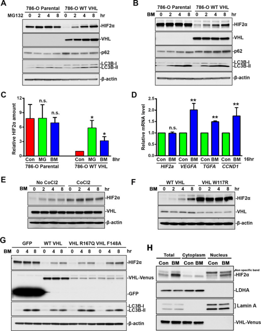 VHL-dependent HIF2α accumulation during autophagy inhibition. (A) 786-O parental cells or 786-O stable cell line expressing VHL-wt-Venus were treated with 10 µM MG132 for indicated time. (B) 786-O parental cells or 786-O stable cell line expressing VHL-wt-Venus were treated with 200 nM bafilomycin A1 for indicated time. (C) Quantitation of HIF2α relative amount. HIF2α band intensity was analyzed using ImageJ software. HIF2α levels in control 786-O stable cell line expressing VHL-wt-Venus cells were normalized to 1. Data represent mean±S.D., n=3. **, p<0.001, compared with control cells. (D) HIF2α target gene expression. 786-O stable cell line expressing VHL-wt-Venus were treated with 200 nM bafilomycin A1 for 16 hrs. Total RNA were analyzed by Real-Time PCR using primers specific for HIF2α, VEGFA, TGFA and CCND1. mRNA level in control cells are normalized to 1. Data represent mean±S.D., n=3. **, p<0.001, compared with control cells. (E) 786-O cells were treated with 200 nM bafilomycin A1 for indicated time with or without 8-hr co-treatment with 100 µM CoCl2. (F) 786-O stable cell lines expressing HA-wt-VHL or HA-W117R-VHL were treated with 200 nM bafilomycin A1 for indicated time. (G) 786-O stable cell lines expressing GFP, VHL-wt-Venus, VHL-R167Q-Venus or VHL-F148A-Venus were treated with 200 nM bafilomycin A1 for indicated time. (H) 786-O stable cell lines expressing VHL-wt-Venus were treated with 200 nM bafilomycin A1 for 8 hrs. Cytoplasmic and nuclear extracts were separated. Cell lysates were analyzed by immunoblot using antibodies against HIF2α, p62, LC3B, VHL, GFP, LDHA, LaminA or β-actin. Con, control. MG, MG132. BM, bafilomycin A1.