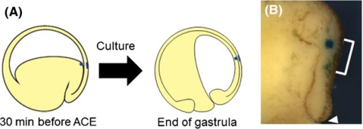 Prospective neuroectoderm and lining mesoderm are continuously associated with each other during gastrulation in Cynops pyrrhogaster. (A) Schematic illustration of the experimental procedure for internal and external labeling. At the beginning, the external surface of the equatorial region was labeled with Nile blue 30 min before anterior contact establishment (ACE) (6.5 h after blastopore appearance), and then a bead was placed in the internal tissue at the same location as the labeled external surface, which can be seen from the internal side. (A) If the internal and the external tissues do not slide in tandem, the bead is under the labeled tissue at the end of gastrulation. (B) A labeled embryo 24 h after blastopore appearance (sagittal section). White bracket indicates the Nile blue labeled region. The bead in the internal tissue was found below the surface layer labeled with Nile blue. White arrowhead in panel B indicates blastopore.