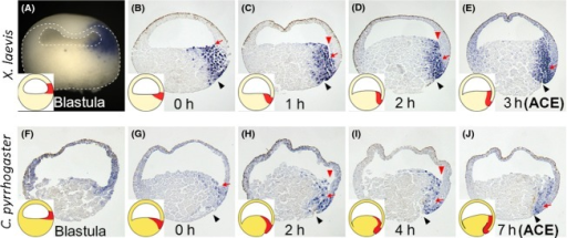 Expression patterns of chordin during early gastrulation in Xenopus laevis and Cynops pyrrhogaster. (A–E) Expression patterns of X. laevis chordin from late blastula to anterior contact establishment (ACE) (3 h after blastopore appearance). (F–J) Expression patterns of C. pyrrhogaster chordin from late blastula to ACE (7 h after blastopore appearance). (A, F) Expression in late blastula embryos. Chordin expression is first detected in the dorsal blastocoel roof. (B, G) Expression at the onset of gastrulation. Chordin is expressed not only in the surface layer (dorsal lip) but also internally in the blastocoel floor. (C, H) Expression in X. laevis 1 h after blastopore appearance, and in C. pyrrhogaster 2 h after blastopore appearance. A trench (red arrowheads) is formed between chordin-positive blastocoel floor and chordin-negative blastocoel roof. (D, I) Expression in X. laevis 2 h after blastopore appearance, and in C. pyrrhogaster 4 h after blastopore appearance. (E, J) Expression in ACE embryos (in X. laevis 3 h after blastopore appearance, and in C. pyrrhogaster 7 h after blastopore appearance). Insets are schematic drawings of the expression pattern. The developmental stages are shown at the bottom of each panel. Black arrowheads indicate blastopore. The outline of the embryo is shown by broken lines in panel (A). Note that the boundary between chordin-positive and -negative tissues corresponds to the bottom of the trench, and contributes to the tip of Brachet's cleft (red arrows).