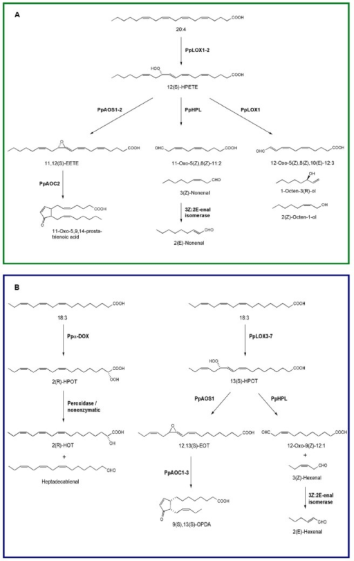 Oxylipin biosynthesis pathways in the moss P. patens. (A) Lipoxygenase-catalyzed oxygenation of arachidonic acid into 12(S)-HPETE and further conversions of this hydroperoxide by allene oxide synthase (PpAOS1-2), allene oxide cyclase (PpAOC2), hydroperoxide lyase (PpHPL), and 12-lipoxygenase (PpLOX1). (B) Oxygenation of linolenic acid into 2(R)-HPOT by Ppα-DOX and by lipoxygenase into 13(S)-HPOT. Breakdown of 2(R)-HPOT into 2(R)-HOT and heptadecatrienal and the further conversions of 13(S)-HPOT by allene oxide synthase (PpAOS1), allene oxide cyclase (PpAOC1-3), and hydroperoxide lyase (PpHPL) are also illustrated.
