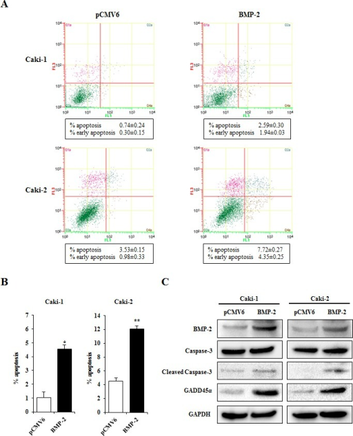 Effects of BMP-2 overexpression on apoptosis(A) Apoptosis assays with Caki-1 and Caki-2 cells were performed at 24 hours after transfection. Representative quadrant figures of control vector BMP-2 transfectants in Caki-1 (upper) and Caki-2 (lower) cells. (B) Bar chart indicates the ratio of apoptotic cell fractions (early plus apoptotic cells) in BMP-2 transfectants as compared with the control. Data for apoptotic cell fractions are expressed as the relative value for the average expression of the control vector transfectant. *P<0.01, **P<0.001. (C) Immunoblotting analysis of apoptotic markers and GADD45β in control and BMP-2 transfected Caki-1 and Caki-2 cells. GAPDH was used as a loading control.