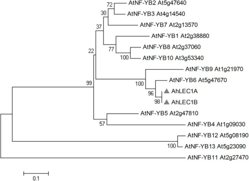 Phylogenetic tree for peanut AhLEC1A and AhLEC1B, and the Arabidopsis NF-YB family.