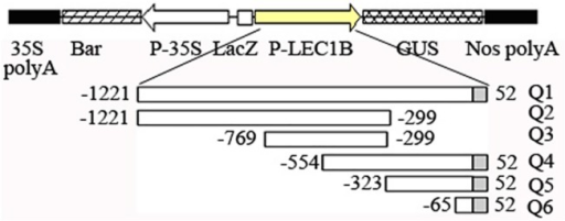 The constructs of GUS expression driven by AhLEC1B promoter and schematic representation of the different length promoters with 5′ or 3′ terminal deletion.Q1-Q6 indicates the different promoters with 5′ or 3′ terminal deletion. The white and gray rectangles show the upstream promoter region from TSS and 5′ UTR region respectively.