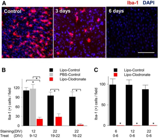 Elimination of microglia using liposomal (Lipo) clodronate from organotypic hippocampal slices of rat. A, Iba-1-positive cells (microglia and macrophages) in CA1 were depleted by using liposomal clodronate (0.2 mg/ml). B, Treatment for 3 d (from DIV9 to 12) decreased the number of microglia comparing liposome-control group and saline control group. Six day treatment from DIV16 to DIV22 eliminated more Iba-1(+) cells than 3 d treatment (96.2% vs 70.4%, n = 4 per group, p = 0.07). C, Microglial depletion persisted 16 d after washout. All values are expressed as mean ± SEM. *p < 0.05. Scale bar, 100 µm.