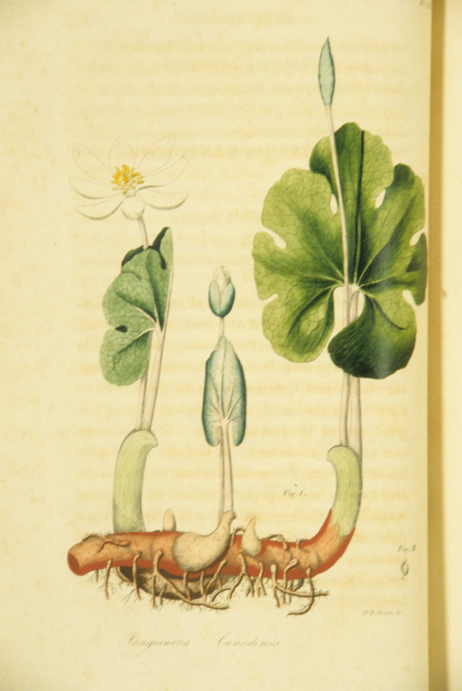 <p>Colored engraving of a flowering blood root plant.</p>