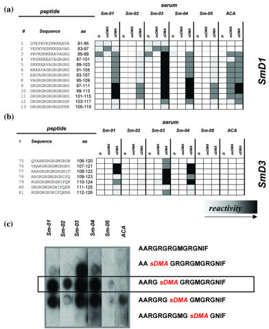 Epitope analysis of SmD1 and SmD3. Carboxyl-terminal regions of (a) SmD1 and (b) SmD3 were synthesized as peptide arrays (15 mers; two amino acids offset) and probed with patient sera. Each arginine containing peptide was synthesized as three variants, one with natural arginine (R), one with symmetrical dimethylarginine (sDMA) and one with asymmetrical dimethylarginine (asDMA) at the respective positions. In addition, a highly reactive SmD3 peptide was synthesized with certain combinations of natural arginine and sDMA. A significant effect of dimethylation of arginine residues on the antigenicity of SmD derived peptides was observed (black squares indicate strong reactivity; white indicate no reactivity). Binding of an anti-Sm negative serum sample (Varelisa® Sm) that contained anti-centromere antibodies (ACA) could be observed with SmD1 but not with SmD3 peptides. Thus, the immunoreactive peptide no. 77 was further tested in (c) a replacement experiment. The SmD3 peptide exhibited exclusive reactivity with the Sm-positive sera.