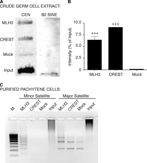 Chromatin immunoprecipitation of centromere-associated repeat sequences by antibodies against MMR proteins. (A) Representative slot blot analysis of major and minor satellite repeat sequences (CEN) performed on crude germ cell lysates immunoprecipitated with antibodies MLH3, CREST, or rabbit IgG (Mock control), compared with input DNA. The same slot blot membrane was stripped and reprobed with a B2 SINE probe as a loading control. (B) Quantitation of three centromere ChIP experiments, expressed as a percentage of input DNA + SD. Statistical analysis was performed using unpaired t-tests (***P < 0.0001). (C) ChIP assay followed by PCR using primers against minor and major satellite sequences performed on purified pachytene cells from Pms2−/− testes. Lanes (from left to right): lane 1, molecular weight marker; lanes 2–5, minor satellite PCR; lanes 6–9, major satellite PCR. M, 100 bp marker; Input, input DNA. 10-fold dilutions of ChIP pull-down substrate DNA was used for minor satellite PCR, DNA for major satellite PCR was undiluted.