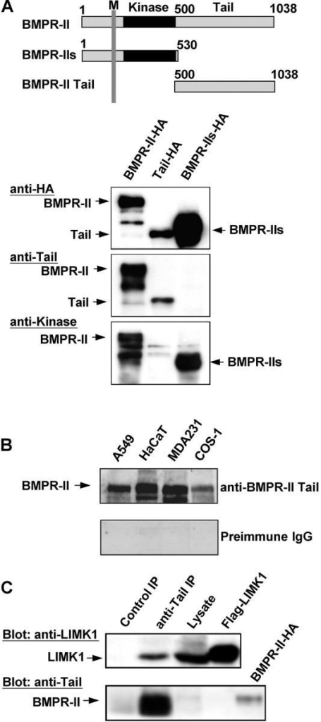 Interaction between endogenous LIMK1 and BMPR-II. (A) Schematic representation of BMPR-II, the short alternatively spliced isoform BMPR-IIs and the COOH-terminal tail construct, and recognition of these proteins, expressed in COS-7 cells as HA-tagged constructs, by anti–kinase domain and anti-tail domain antibodies. M, transmembrane region. (B) Recognition of endogenous BMPR-II by anti–BMPR-II-tail antibodies in Western immunoblotting of lysates from the indicated cell lines. (C) Association of endogenous BMPR-II and LIMK1 in NIH3T3 cells. Lysates from NIH3T3 cells were immunoprecipitated with anti–BMPR-II-tail antibodies, and the presence of BMPR-II and LIMK1 in the immunocomplexes was determined by Western immunoblotting with the indicated antibodies. Two percent of the total lysate used for immunoprecipitation was tested by immunoblotting for LIMK1 expression (Lysate). FLAG-tagged LIMK1 and HA-tagged BMPR-II immunoprecipitated from transfected COS-7 cells with antibodies against these epitopes served as marker controls.