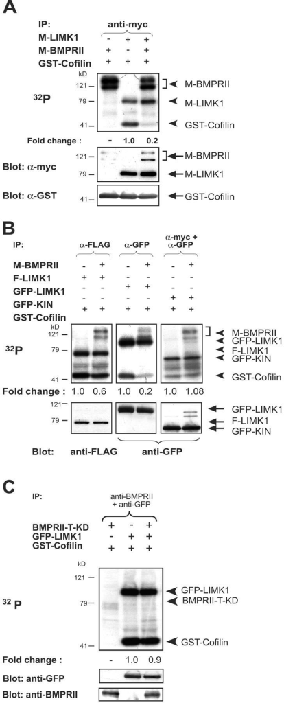 Inhibition of LIMK1 function after interaction with BMPR-II. (A) In vitro kinase assay of coimmunoprecipitated myc-tagged LIMK1 and BMPR-II (M-LIMK1 and M-BMPR-II) proteins using 5 μg of GST–cofilin as substrate. Autophosphorylated M-LIMK1 and M-BMPR-II and phosphorylated GST–cofilin (arrowheads) and their level of expression as determined by immunoblotting (arrows) are indicated at the top and bottom panels, respectively. The level of cofilin phosphorylation is an indication of LIMK1 activity, and the fold change in cofilin phosphorylation was calculated by PhosphorImage analysis after normalization for the level of LIMK1 expression as determined by immunoblotting. The level of cofilin phosphorylation in the presence of LIMK1 alone was used as the baseline and designated 1.0. (B) In vitro kinase assays of coimmunoprecipitated FLAG- or GFP-tagged LIMK1 (F- or GFP-LIMK1) or GFP-tagged kinase domain of LIMK1 (GFP-KIN) with or without M-BMPR-II. (C) In vitro kinase assays of immunoprecipitated GFP–LIMK1 in the presence or absence of tailless kinase dead BMPR-II (BMPRII-T-KD). 5 μg of GST–cofilin is used as substrate in all samples. Phosphorylated proteins (arrowheads, top panel) and their level of expression after immunoblotting (arrows, bottom panel) are indicated. The fold change in GST–cofilin phosphorylation by LIMK1 was calculated as described above.