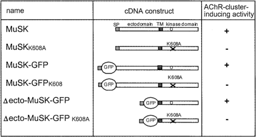 MuSK and MuSK mutant constructs used for direct gene transfer. MuSK and MuSK mutant constructs are shown schematically. SP, signal peptide; TM, transmembrane domain. K608 of the wild-type kinase (o) is mutated to K608A (x) in the kinase-inactive MuSK mutants. The cDNAs cloned into pRK5 expression vectors were injected ectopically in single muscle fibers to express the transgenic proteins. Their ability to induce AChR clusters is indicated on the right.