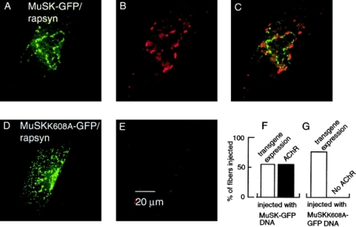 Induction of ectopic AChR clusters requires MuSK kinase activity. Rat muscle fibers were injected with expression vectors encoding MuSK–GFP or MuSKK608A–GFP and rapsyn. After 21 d, the muscles were excised. Maximum projections of confocal image series show expression of GFP fusion protein (green) and the formation of AChR clusters. AChR clusters are visualized by r-bgt (red). (A) Expression of MuSK–GFP and rapsyn, as indicated. (B) AChR clusters induced by MuSK–GFP. (C) overlay of A and B indicates that MuSK–GFP and AChR clusters are not colocalized. (2 rats were used for DNA injection; a total of 26 fibers were injected and AChR clusters were detected in 14 fibers.) (D) Expression of kinase-inactive MuSKK608A–GFP and rapsyn, as indicated. (E) MuSKK608A–GFP does not induce AChR clusters and coinjected rapsyn is unable to form AChR/rapsyn aggregates. 4 rats were used for DNA injection; a total of 50 fibers were injected and 38 GFP-positive fibers were detected. (F) Graph illustrates that AChR clusters are detected on all fibers expressing transgenic MuSK. (G) Fibers expressing MuSKK608A–GFP display no ectopic AChR clusters.