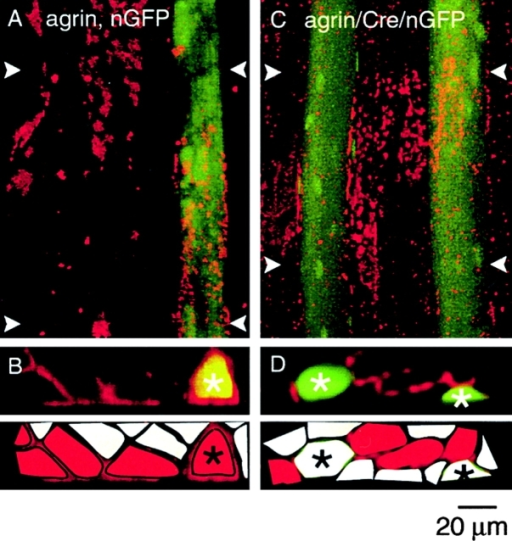 Cre-mediated inactivation of the MuSK gene in single muscle fibers. Single muscle fibers of MuSKloxP/− mice were injected with DNA and expression of transgenic products was analyzed 21 d after injection. Excised muscles were incubated with r-bgt to identify AChR clusters. Overlays of green and red fluorescence images are shown. (A) Maximum projection of a confocal image series shows ectopic AChR clusters (red) induced by agrin. The nGFP-expressing fiber (green) on the right has been injected with agrin and nGFP DNA as indicated. Expression of nGFP and the appearance of AChR clusters shows successful expression of the transgenic proteins. The clusters are apparently located on the injected as well as on noninjected fibers. (B) Cross-sections of the confocal images allow to assign AChR clusters to individual muscle fibers. Reconstructed xz projection of the confocal image series (A) over the range (y) marked by white arrowheads. AChR clusters, located in the plasma membrane, surround the nGFP, transgene-expressing muscle fiber (marked by asterisk). AChR clusters are also located on neighboring noninjected fibers. (Bottom) Location of muscle fibers is indicated schematically and AChR cluster–expressing fibers are labeled red. Transgene-expressing fiber is marked by asterisk. (C) Maximum projection of a confocal image series. Two nGFP-expressing fibers (green) had been injected with agrin and nGFP DNA plus Cre DNA to conditionally inactivate endogenous MuSK. Agrin-induced AChR clusters (red) are apparently distributed as in A. Expression of nGFP and AChR clusters shows successful expression of the transgenic proteins. (D) Reconstructed xz projection of the confocal image series (C) over the range (y) marked by white arrowheads. AChR clusters are not found on the nGFP, Cre-expressing muscle fibers (marked by asterisks), but only on neighboring noninjected fibers. Cre-mediated inactivation of endogenous MuSK prevents formation of AChR clusters. (Bottom) Location of muscle fibers is indicated schematically. AChR cluster-expressing fibers are labeled red. Transgene-expressing fibers are marked by asterisks. 7 mice were used for DNA injection; a total of 39 GFP-expressing fibers were analyzed but contained no ectopic AChR clusters.