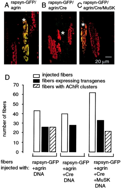Rapsyn–GFP identifies ectopically induced AChR clusters. Single muscle fibers of MuSKloxP/− mice were injected with DNA, as indicated by asterisks, and expression of transgenic products was analyzed 21 d after injection. The excised muscles were incubated with r-bgt to identify AChR clusters. Overlays of green and red fluorescence images of a confocal image series are shown as maximum projections. (A) Expression of agrin and rapsyn–GFP as indicated. Agrin induces ectopic AChR clusters. AChR in the injected muscle fiber form complexes with rapsyn–GFP and AChR clusters appear yellow in the overlay. The r-bgt labeled AChR clusters on noninjected fibers are red. (2 MuSKloxP/− mice were used for injection; a total of 43 fibers were injected and 26 fibers expressed agrin and rapsyn–GFP. In all injected transgene-expressing fibers AChRs were colocalized with rapsyn–GFP and appeared yellow). (B) Expression of agrin, Cre, and rapsyn–GFP as indicated. Transgenic Cre inactivates endogenous MuSK. The absence of AChR/rapsyn–GFP clusters demonstrates that the formation of AChR clusters was prevented in injected muscle fibers. Agrin-induced AChR clusters are found only on neighboring noninjected fibers. 2 MuSKloxP/− mice were used for DNA injection; a total of 40 fibers were injected; 28 fibers expressed agrin and rapsyn–GFP; no AChR clusters were detected on the injected fibers. (C) Expression of agrin, Cre, rapsyn–GFP, and MuSK as indicated. AChR induced in the injected fiber form complexes with rapsyn–GFP and AChR clusters appear yellow in the overlay. The Cre-mediated inactivation of the MuSK gene was rescued by expression of transgenic MuSK (3 MuSKloxP/− mice were used for DNA injection; a total of 62 fibers were injected and 33 fibers expressed agrin and rapsyn–GFP. Endogenous MuSK inactivation was rescued in 22 fibers, which contained AChR/rapsyn–GFP complexes.) (D) Graphic summary of experiments described in A–C shows that Cre-mediated inactivation of endogenous MuSK prevents the formation of AChR clusters. The conditional MuSK gene knock out is rescued with high efficiency by transgenic MuSK: AChR clusters are found in 73% of transgene-expressing fibers.