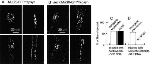 MuSK lacking the ectodomain induces AChR clusters. Rat muscle fibers were injected with DNA of rapsyn and MuSK mutants. After 21 d, muscles were excised. MuSK-induced AChR clusters were visualized by r-bgt. (A) Expression of MuSK–GFP and rapsyn, as indicated, induces AChR clusters. Several different AChR cluster patterns are presented and demonstrate that size and shape of MuSK-induced clusters may vary, probably depending on the concentration of transgenic MuSK expressed upon direct gene transfer. (B) Expression of ΔectoMuSK–GFP and rapsyn, as indicated, induces AChR clusters similar to that shown in A (4 rats were used for DNA injection; a total of 47 fibers were injected and AChR clusters were detected on 28 fibers). (C) Diagram: ΔectoMuSK–GFP induces AChR clusters as observed in A and B. In all transgene-expressing fibers, AChR clusters are formed (3 rats were used for DNA injection; a total of 48 fibers were injected; 28 fibers expressed ΔectoMuSK–GFP and AChR clusters were detected on all 28 fibers). (D) Diagram: kinase-inactive ΔectoMuSKK608A–GFP fails to induce AChR clusters (2 rats were used for DNA injection; a total of 25 fibers were injected and 14 ΔectoMuSKK608A–GFP-expressing fibers were detected; none of the fibers had ectopic AChR clusters).