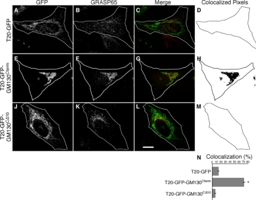 Endogenous GRASP65 is recruited to mitochondria by GM130. HeLa cells expressing T20-GFP (A–D), T20-GFP-GM130Cterm (E–H), or T20-GFP-GM130CΔ10 (J–M) were BFA treated and processed to reveal GFP fluorescence, GRASP65 staining, merged images and, from single optical sections, representations of the colocalized pixels. Bar, 10 µm. GRASP65 recruitment (N) was assayed by determining the fraction of total GFP-positive pixels in single optical sections (chosen to maximize mitochondrial representation) that colocalized with GRASP65 staining (n = 3, ±SEM, >15 cells/experiment; *, P < 0.0001).