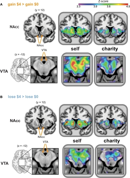 Whole-brain analysis reveals similar patterns of activation during anticipation of gains and losses, whether participants played for self or a charity. Activated regions were larger and more significant in the Self conditions. Activation peaks were present in the NAcc and VTA in all four treatments (i.e., anticipating gain, anticipating loss, playing for self, playing for a charity). ROIs for bilateral NAcc (A and B, top) are shown on a coronal image (y = −12). The ROI for the VTA (A and B, bottom) is shown on a magnified axial image (z = −12). ROIs are indicated in white on an anatomical image to the left of the statistical maps. The left side of each image corresponds to the participant's left. All statistical map colors reflect the Z-score color scale in the upper right corner. Other significant peaks in each condition are listed in Tables 1–4.