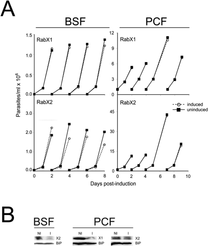 RNAi indicates that RabX1 and RabX2 are non-essential for normal growth of T. brucei.Growth curves of BSF SMB and PCF PTT parasites after tetracycline-induced RNAi for RabX1 and RabX2. Top left panel, Growth curve for BSF SMB parasites transfected with p2T7TAblue-RabX1 RNAi construct. Bottom left panel, growth curve for BSF SMB parasites transfected with p2T7TAblue-RabX2. Top right panel, growth curve for PCF PTT parasites transfected with p2T7-177-RabX1. Bottom right panel, growth curve for PCF PTT parasites transfected with p2T7-177-RabX2. RNAi was induced in BSF SMB parasites by the addition of 1 µg/ml and in PCF PTT lines by the addition of 10 µg/ml of tetracycline. BSF or PCF cells were cultured in the absence (open symbol) or presence (closed symbol) of tetracycline. Insets in the respective growth curves show Western blots demonstrating the RNAi-mediated down regulation of RabX1 or RabX2 along with BiP, an ER marker, as a loading control. Western blot for RabX1 and RabX2 was performed with 1×107 cells after two days of incubation with 1 µg/ml tetracycline in BSF and four days of incubation with 10 µg/ml tetracycline in PCF. NI, non-induced; I, induced. The experiments have been repeated at least twice.