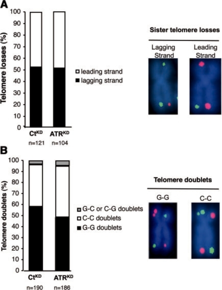 ATR inhibition destabilizes both lagging and leading strand telomeres. (A) Histograms show the percentages of sister telomere losses affecting the lagging or the leading strand in ATRKD and CtKD cells detected by CO-FISH on metaphase spreads. 'n' represents the total number of telomere losses analyzed. No significant difference in the repartition of missing lagging or leading strand telomeres between the two cell lines was detected by chi-square analysis. Representative images of chromosomes missing lagging or leading strand telomeres are shown on the right. Lagging strand telomeres are labeled in red by hybridization of the parental G strands with Cy3-PNA probe and the leading telomeres in green by hybridization of the parental C strand with FITC-PNA probe. (B) Histograms show the respective percentages of telomere doublets containing two parental C-strand telomeres (C–C doublets) or two parental G-strand telomeres (G–G doublets) or both parental strand telomeres (C–G or G–C doublets) in ATRKD and CtKD cells. 'n' represents the total number of telomere doublets analyzed. No significant difference in the repartition of the three classes of telomere doublets between the two cell lines was detected by chi-square analysis. Representative images of telomere doublets detected by CO-FISH are shown on the right.