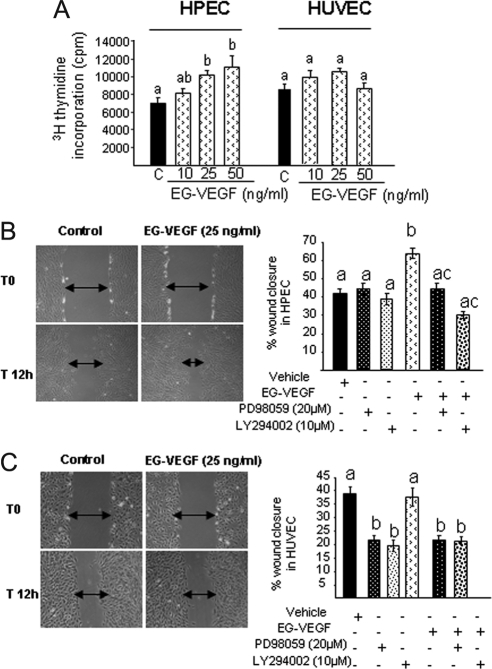 EG-VEGF increases HPEC but not HUVEC proliferation and migration. (A) [3H]Thymidine incorporation into HPEC and HUVEC cells, in the absence or presence of EG-VEGF. A significant increase of HPEC proliferation was observed with 25 and 50 ng/ml EG-VEGF (*p < 0.05). No significant effect was observed on HUVEC cells. (B and C) Photographs of wounded HPEC and HUVEC monolayers, respectively, at 0, and 12 h after wounding. The plots show percentages of wound closure after 12 h of treatment with EG-VEGF in the absence or presence of PD98059 and the LY294002, the inhibitors of MAP kinases and PI3K, respectively. Bars with different letters are significantly different from each other (p < 0.05).