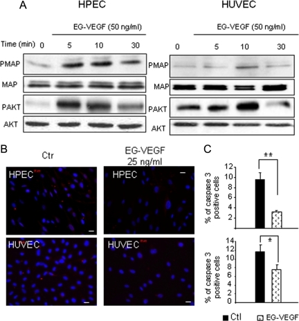 EG-VEGF is a survival factor for HPEC and HUVEC cells. (A) Representative Western blots of MAP kinase and AKT phosphorylations after treatment with EG-VEGF in HPEC and HUVEC cells. Standardization of the protein signals was done with antibodies against dephospho-MAP kinases and -AKT. (B) shows the effect of EG-VEGF on caspase 3 expression in HPEC and HUVEC cells after serum starvation and challenging with EG-VEGF (25 ng/ml). (C) The percentage of caspase 3–positive cells. Three randomly selected microscopic fields were observed, and ≥200 cells/field were evaluated. (**p < 0.01, *p < 0.05). Bar, 20 μm.
