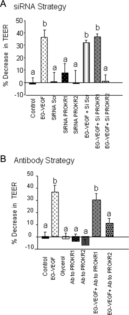EG-VEGF effects on HPEC permeability are mediated by PROKR2 and not PROKR1: Panels (A) and (B) show EG-VEGF (25 ng/ml) effect on the permeability of HPEC cells that had been silenced for PROKR1 and PROKR2 mRNA using siRNA (siRNA strategy), or treated with PROKR1 and R2 blocking antibodies (antibody strategy), respectively. In the two sets of experiments, EG-VEGF significantly increased HPEC permeability. Both siRNA to PROKR2 and its blocking antibody inhibited EG-VEGF effect. However, nor siRNA to PROKR1, neither its blocking antibody did affect the permeability. Data represent the mean ± SEM. Bars with different letters are significantly different from each other (p < 0.05).