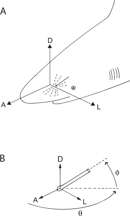 Directions of electrosensory canal projections relative to the shark body.(A) Projections originate along the central body axis and are anterior (A), dorsal (D) or lateral (L) relative to the body, with complementary posterior, ventral and medial projections, respectively (not illustrated). (B) Spherical projection vectors for each ampullary canal are expressed as direction relative to the shark body. Direction origins are at the ampulla and have projections relative to the anterior, dorsal or lateral direction of the body. Azimuth (θ, theta) is calculated as the angle of deviation from the anterior direction in the horizontal plane, and elevation (ϕ, phi) in the orthogonal vertical plane.