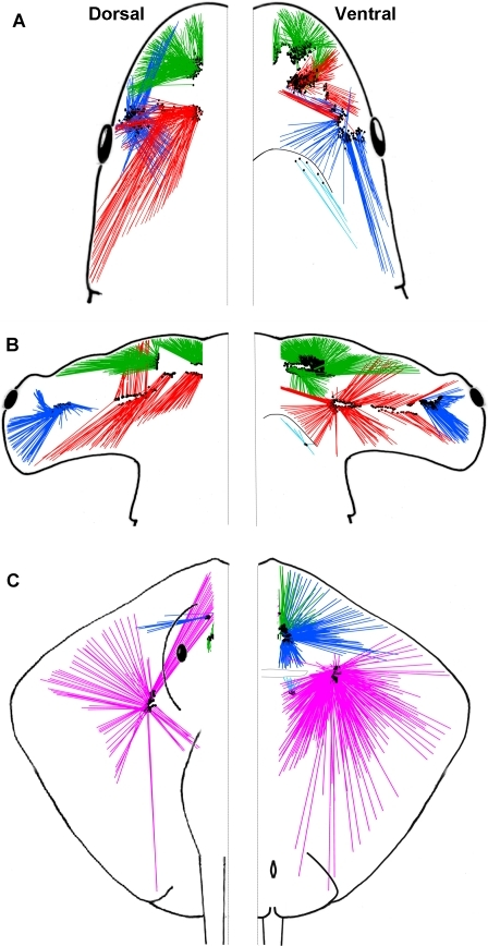 Horizontal view of the electrosensory arrays of the sandbar shark, Carcharhinus plumbeus.(A), scalloped hammerhead shark, Sphyrna lewini (B) and brown stingray, Dasyatis lata (C). Canals with pores on the dorsal and ventral surface are shown on the left and right side of the figure, respectively. Canals from each ampullary group are represented by different colors (BUC  =  blue, SOa  =  green, SOp  =  red, HYO  =  pink). Location of ampullae are indicated by black dots at the base of canals.