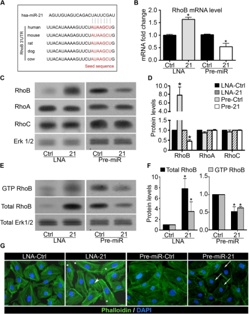 miR-21 reduces RhoB expression and activity in endothelial cells.A. Alignment of potential miR-21 binding sites in the 3′UTR of the RhoB mRNA of different species. B. HUVECs were transfected with a precursor of miR-21 (Pre-miR-21) or with a precursor control (Pre-miR-Ctrl) and with a LNA-21 or with a LNA control (LNA Ctrl). The RhoB mRNA level was analyzed after 48 h by qRT-PCR. C–D. Total protein was extracted from HUVECs 48 h post transfection and RhoA, RhoB and RhoC protein levels were measured by Western blotting. ERK1/2 level was analyzed as an internal control. D. Quantification of (C). Quantification was performed using ImageJ software. E–F. Measurement of GTPase activity of RhoB. E. Transfected HUVECs were processed for pull-down assays and Western blot analysis with specific antibody to RhoB. F. Quantification of (E). Quantification was performed using ImageJ software. G. Transfected HUVECs were seeded onto gelatin-coated slides and analyzed for fluorescence labeling by phalloidin-FITC (green). Nuclei were visualized by DAPI staining (blue). White arrows show areas with less actin stress fibers. Asterisks represent some elongated HUVECs. Arrowhead indicates stress fibers in the center of the cell. Pictures are representative of three independent experiments. Data are means with the SD. *p<0.05 versus corresponding control; (n = 3).