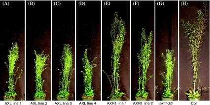 At day 70 post-plating, AXR1 corrects the inflorescence height defect of axr1-30 more than AXL1. AXR1 and AXL lines were grown for 70 days and height was measured. Representative pictures of AXL lines (a–d), AXR1 lines (e–f), axr1-30 (g), and Columbia (h) are shown. Scale bar represents 5 cm