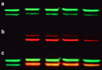 Western blot of two proteins (a &b) using two QD-antibody conjugates. Overlay of the two images is shown in c. From [107]