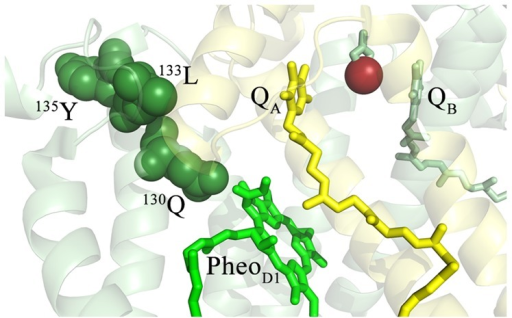 Detail of the Oxidized Residues in the Vicinity of PheoD1.The T. vulcanus residues corresponding to the oxidatively modified spinach residues (Table 1) are highlighted and labeled. The D1 protein is shown in pale green and the D2 protein is shown in pale yellow. The oxidatively modified residues of D1 are shown in dark green, with the individual modified residues being labeled. PheoD1 is shown in bright green, QA is shown in yellow, QB in green and the non-heme iron is shown in bright red. For clarity, modified residues in the vicinity of QA (and detailed in Fig. 3) are not shown.