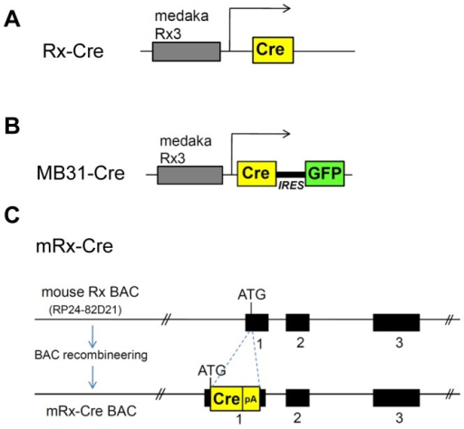 Schematic representation of Cre recombinase-expressing transgenic mouse lines used in this study.(A) The Rx-Cre; with a 4-kb DNA fragment upstream of the medaka Rx3 gene driving Cre expression [12]. (B) To generate MB31-Cre, the 4-kb DNA fragment upstream of the medaka Rx3 gene was linked to the coding region of Cre recombinase. The IRES sequence was used to connect Cre expression with EGFP to monitor the transgene expression. (C) To generate mRx-Cre BAC, a BAC containing 200 kb covering the Rx locus was modified by BAC recombineering. The Cre coding region (Cre-pA) was inserted into the Rx translational initiation start site (ATG). The exons are indicated with black boxes.
