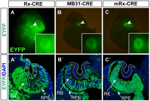 Activity of Rx-Cre, MB31-Cre and mRx-Cre in the eye primordium analyzed using the ROSA26R-EYFP reporter line.(A–C) Whole-mounts showing EYFP expression (green) in the overall embryo at E10.5. (A'–C') Coronal sections through the eye region co-stained with DAPI (blue) showing Cre activity in the retina, retinal pigmented epithelium and invaginating lens pit (dashed line) at E10.5.