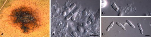 Dearnessia apocyni (F43227). A. Leaf spot. B, C. Conidiogenous cells. D. Conidia. Scale bars = 10 μm.