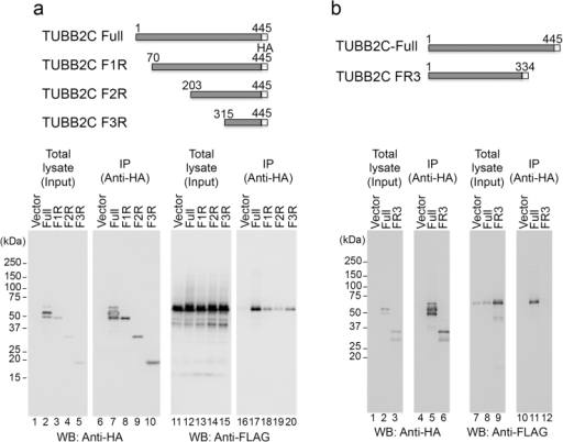 Identification of the TgRON4-binding region in TUBB2C.(a), (b) Upper: Schematic representation of TUBB2C and its N- and C-truncated mutants. Lower: The indicated HA-tagged TUBB2C proteins were coexpressed with 3xFLAG-tagged TgRON4B. The cell lysates were immunoprecipitated with an anti-HA antibody. The cell lysates and immunoprecipitates (IP) were analyzed by Western blotting with anti-HA and anti-FLAG antibodies. Owing to low expression, transient transfection of TUBB2C FR3 was scaled up (see Methods).