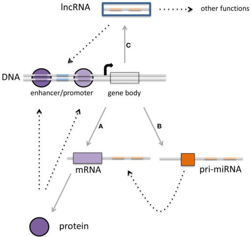 Multiple layers of gene expression controlled by transcription factors, miRNAs, and lncRNAs. (A) Protein-coding genes are transcribed into mRNA, which subsequently are translated into proteins. These proteins can function as the classical transcription factors. (B) There is a second class of RNAs that is not translated into protein but rather is regulating the expression of other transcripts. The third class of transcripts described in this review (C) is the long non-coding RNAs that can regulate gene expression as well, although other functions for these transcripts have been described (see Figure 3). It is becoming clear that there is interaction within each class, but also between these three classes, which can converge on transcriptional outcome (see text for details).