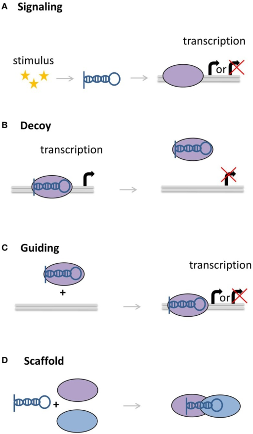 Molecular functions of lncRNAs. (A) LncRNAs can act as signaling molecules, affecting the expression of genes in response to a stimulus. (B) LncRNAs can divert transcription factors or other proteins away from the DNA. (C) Other lncRNAs can recruit proteins, bringing them closer to target genes. (D) As scaffolds, lncRNAs can bring together multiple proteins to form complexes.