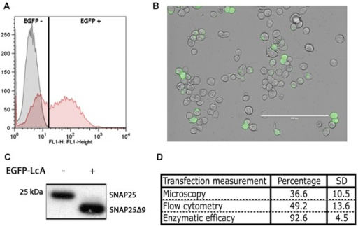 Measuring transfection yields. A: Flow cytometry analysis of Mock (gray) and EGFP-LcA (red) transfected Neuro2A cell distribution shown as a histogram of fluorescent intensity (FL1). B: Confocal microscopy image of EGFP-LcA transfected Neuro2A cells. White bar: 200 μm. C: Western immunoblotting of total SNAP25 (SMI81) showing the enzymatic activity of EGFP-LcA on transfected Neuro2A cells. A total conversion of SNAP25 can be observed. D: Calculated transfection percentage using the above three interpretation methodologies. There is a strong discrepancy between the fluorescently observed tranfection yields compared to total intracellular enzymatic activity.