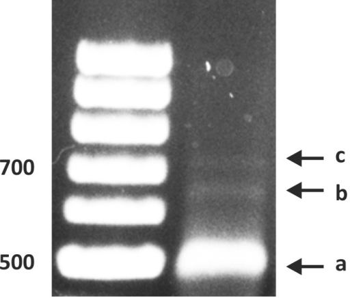 Identification of the HFA1 transcription initiation site by 5′RACE: The HFA1 specific primer SP1 (Table 4) was used for the reverse transcription reaction to synthesize a first strand cDNA.a) Major 5′ RACE product (500 bp), b) Minor 5′RACE product (650 bp) and c) third band produced only occasionally.
