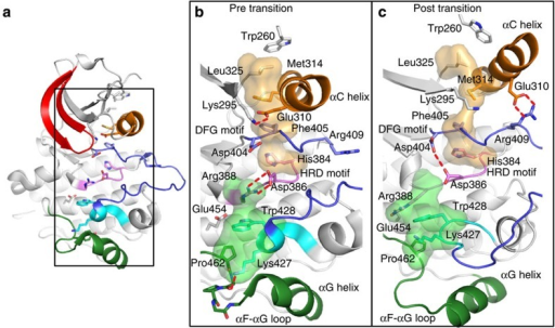 Atomic details of the concerted conformational change.(a) An overview of the active Src kinase domain (from PDB entry 1Y57). Helix αC is coloured orange, P-loop red, activation loop blue, catalytic loop pink, P+1 loop cyan and helix αG with αG-αF loop green. Black rectangle indicates the enlarged area to the right. (b,c) Close-up of the residues identified as part of the allosteric network before (b) and after (c) the transition is observed in the simulations. The P-loop and parts of the activation loop have been omitted for clarity. The hydrophobic spine residues (orange transparent surface) and the substrate-binding site (green transparent surface) are highlighted. (b) Prepared using PDB 1Y57, from which the simulation was initiated. (c) Prepared using a snapshot from a simulation, but the key features highlighted (for example, the positions of Trp260 and the Glu310-Arg409 salt bridge) are also seen in the crystal structure of inactive Src kinase (PDB 2SRC). The key hydrogen bond between protonated Asp404 and Asp386 is seen in other kinase crystal structures (for example, PDB 1JOW and 1M14).