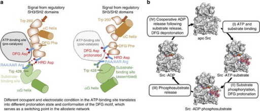 The allosteric network and negative cooperativity in the context of a kinase catalytic cycle.(a) The key components of the allosteric network are shown in two configurations. The protonation of the DFG aspartate repositions the Asp and Phe residues, which disrupts the regulatory hydrophobic spine and leads to the αC-out transition and the repositioning of Trp260 in the N-lobe, and in the C-lobe induces the RAA/AAR Arg to form alternative interactions with Trp428 and Glu454, resulting in a rearrangement of the substrate-binding site. (b) In a catalytic cycle, the apo kinase (I) binds ATP/Mg2+ and substrate, yielding the bisubstrate complex (II), in which the phosphoryl transfer from ATP to substrate occurs. Following the phosphoryl-transfer step, the DFG aspartate becomes protonated (III). The phosphorylated substrate is subsequently released (IV), which weakens ADP binding through the cooperative mechanism and promotes ADP release. The DFG aspartate is then once again deprotonated, and the affinity for ATP increases, starting the catalytic cycle again (I).