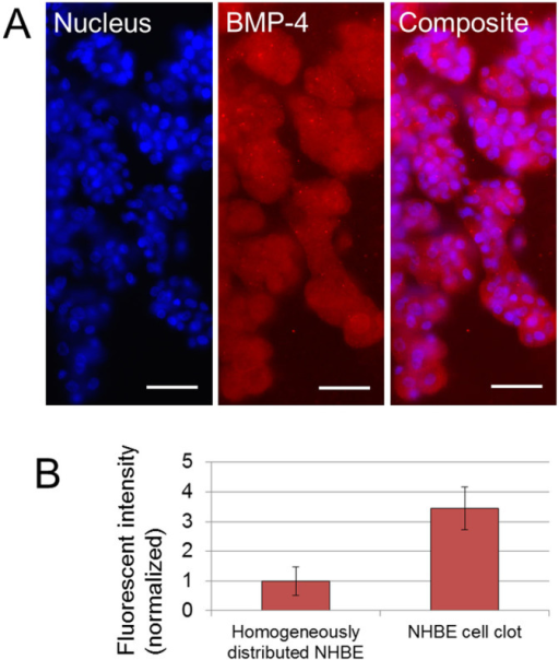 Fluorescent imaging result of BMP-4 expression on the branch.(A) Fluorescent images of nucleus and BMP-4 on developed branches from NHBE clot. BMP-4 expression was observed over the cell clot and branches. Scale bars 100 μm. (B) Comparison of fluorescent intensity of BMP-4 expression from homogeneously distributed NHBE and from NHBE cell clot with branches after day 7. The intensity from cell clot is higher than from homogeneously distributed NHBE (p = 0.014). Exposure time 300 ms. (n = 6).