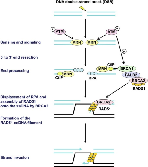Early steps of homologous recombination. First, the DNA double-strand break is sensed by the MRE11–RAD50–NBS1 (MRN) complex, which subsequently recruits and activates the ataxia telangiectasia mutated (ATM) kinase. Then, the DNA ends are resected by the MRN complex and CtIP, resulting in generation of 3′ single-stranded DNA (ssDNA) overhangs on both sides of the break. These overhangs are coated and stabilized by replication protein A (RPA). Next, BRCA2, which forms the BRCA1–PALB2–BRCA2 complex, directly binds RAD51 and recruits it to the double-stranded DNA–ssDNA junction, and promotes the loading of RAD51 onto ssDNA. This step is followed by displacement of RPA from ssDNA ends and assembly of the RAD51–ssDNA filament, which is mediated by BRCA2, leading to strand invasion into an undamaged homologous DNA template. All the molecules indicated here are aberrated in sporadic cancers. None of the proteins indicated here are targeted for cancer therapy in the present clinical trials. P, phosphorylation.