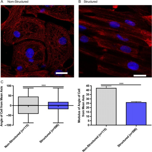 Microgrooved culture substrates' effect on calcium cycling of cardiac myocytes derived from human-induced pluripotent stem cells. Representative immunofluorescence of iPSC-CM cultured on unstructured polydimethylsiloxane (A) and microgrooved polydimethylsiloxane (B), Red - sarcomeric a-actin, Blue - DAPI, scale bar 20 mm.Quantification of cell alignment iPSC-CM on structured and unstructured constructs (C). (Adapted from Ref.78)